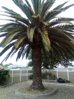 Palm tree for sale