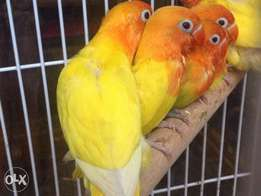 Lovebird tame for sale