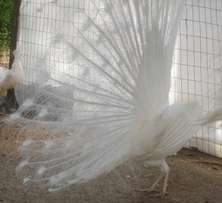 Pure white peafowl,pea chicks and hatching eggs