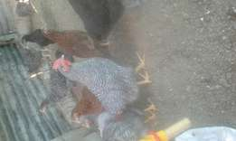 Am selling cocks of potch koekoek,rhode island and australorp 4 R70