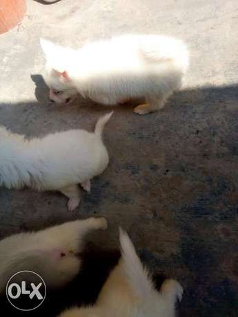 12weeks Samoyed puppies Samoyed female left Ikotun - image 2