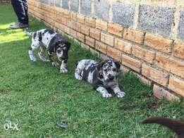 Super imported harlequin great dane for sale