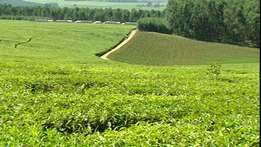 10,000 Acres Tea Plantation For Sale