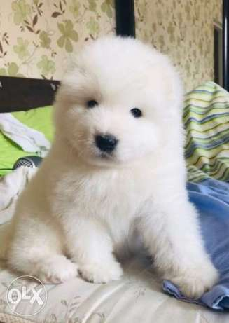 Samoyed Puppies Imported From Europe
