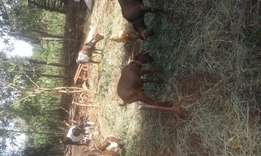 Goats for sale(mbuzi) for meat and for rearing(superbreeds )