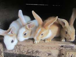 Sweetheart Rabbits for sale
