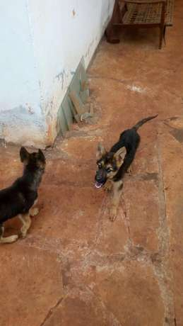 10000 ksh German Shepherd puppy Nyari - image 5