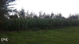 Green maize plus stalks for dairy feed 25000.