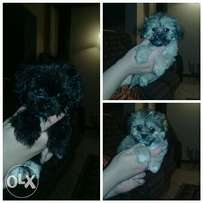 Pekignese pups for sales