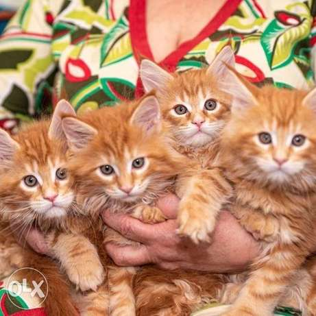 I will sell Maine Coon kittens from big parents