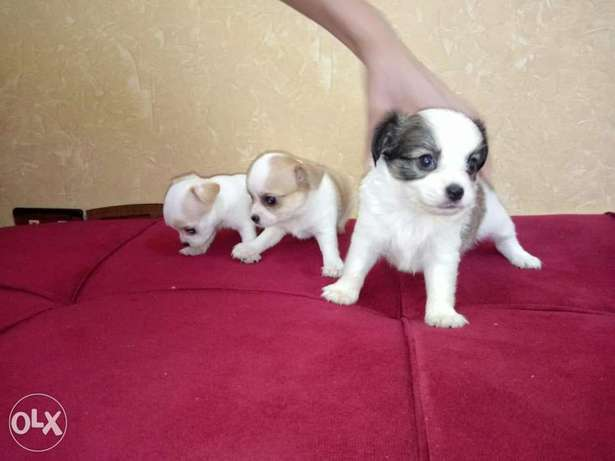 Best chihuahu Chiwawa puppies شواوا جراوي
