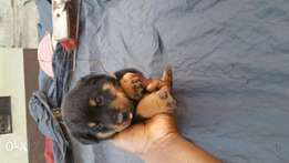 Pure rottweilers for sale.