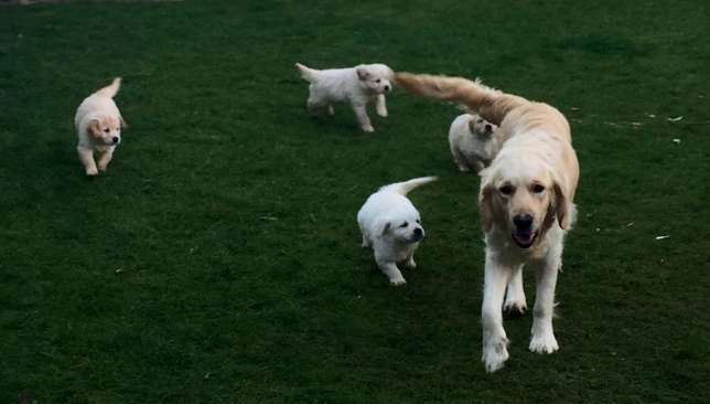 Gorgeous Golden Retriever Puppies for Sale Durban North - image 2