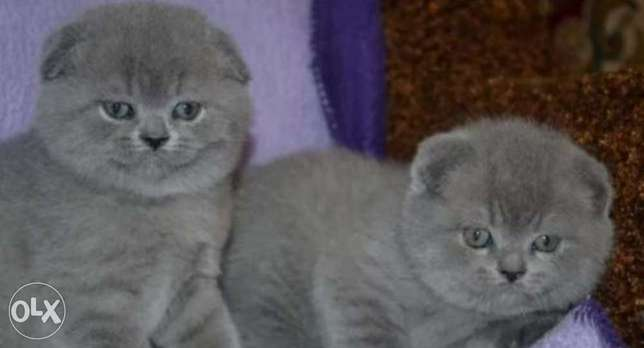 Imported scottish fold kittens, top quality with all documents