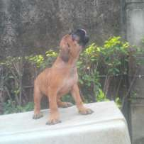 Standard, 100% full breed boerboel puppies for sale