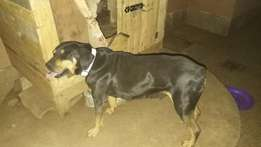 Two year old pedigree female Rottweiler