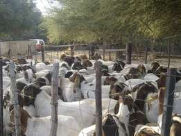 Goats from R1100-R1500