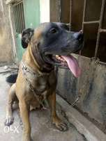 110% productive adult female Boerboel for sale