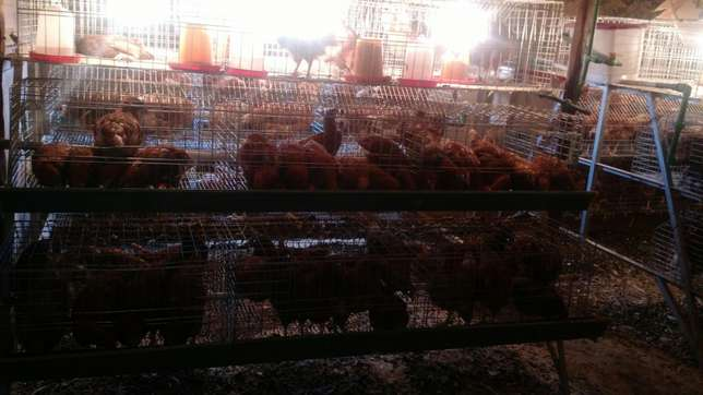 Chicks cages available at homestead farm Kasarani - image 4