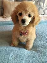 Adorable toy French Poodle pups