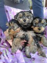 Yorkie babies available
