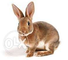 we are looking for 50 hybrid rabbits to buy urgently today