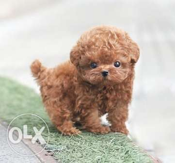 Gorgeous male and female toy poodles