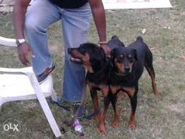 Rottweiller-Doberman guard dogs for sale.