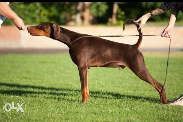 Doberman puppies imported from Ukraine with Pedigree
