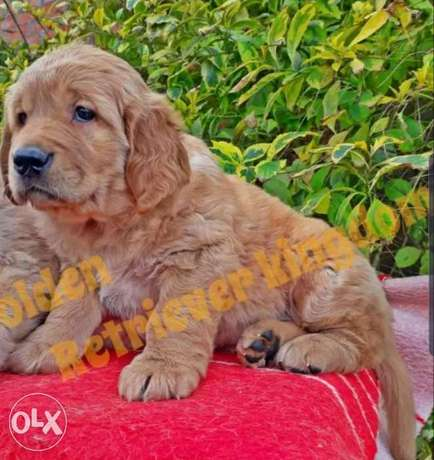 Bom Bom Bom Golden Retriever Puppies Highest Quality In Lebanon