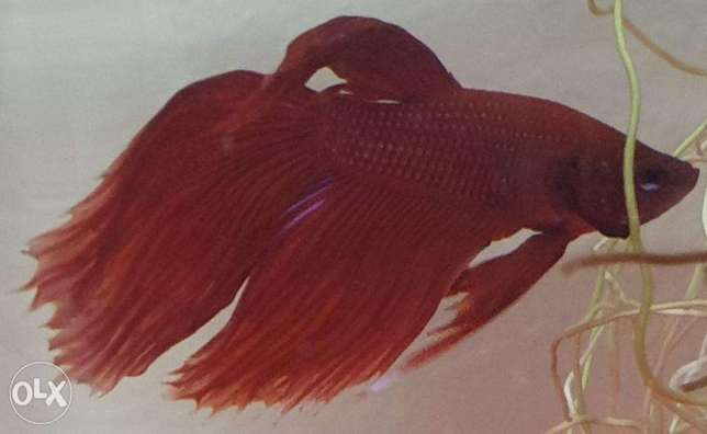 Beautiful Betta Fish, with container and food