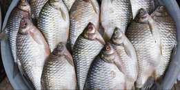 Quality Fresh Tilapia Fish From Lake Victoria Delivered