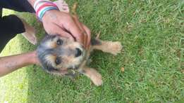 Cute little yorkie for sale