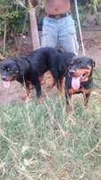 Pedigree Adult Rottweiler Female 4sale