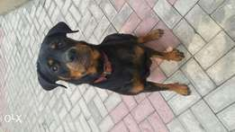 1 year six months old female Rott.