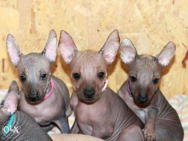 """Imported Mexican Hairless puppies """"Top Quality"""""""