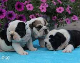 English bulldog puppies, imported with all dcs.. Males and females