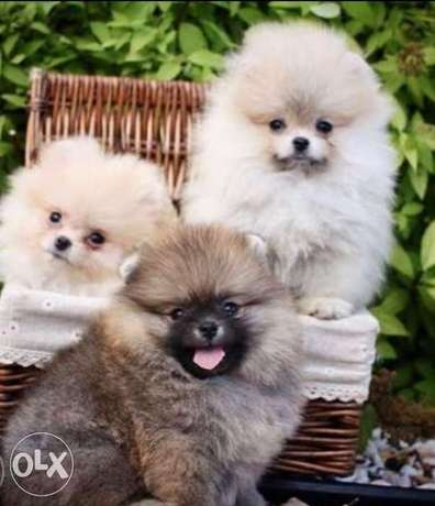 Premium quality, imported teacup pomeranian puppies with all dcs