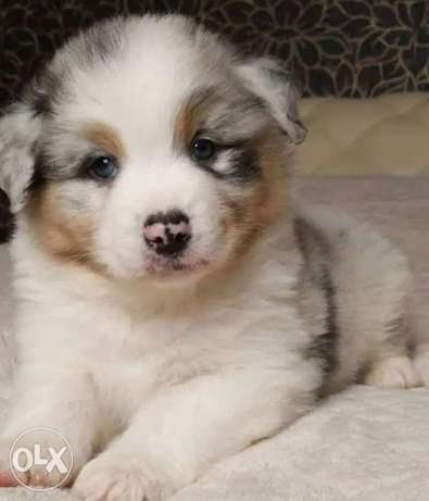 Imported Australian Shephared Puppies From Europe