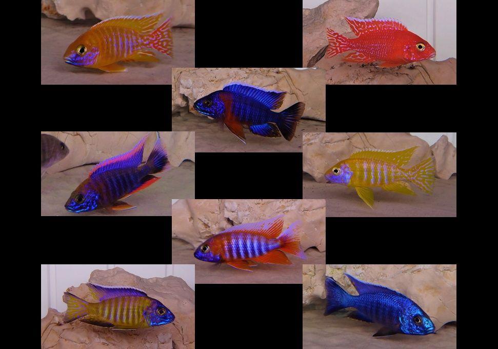 Kojarzenie ryb