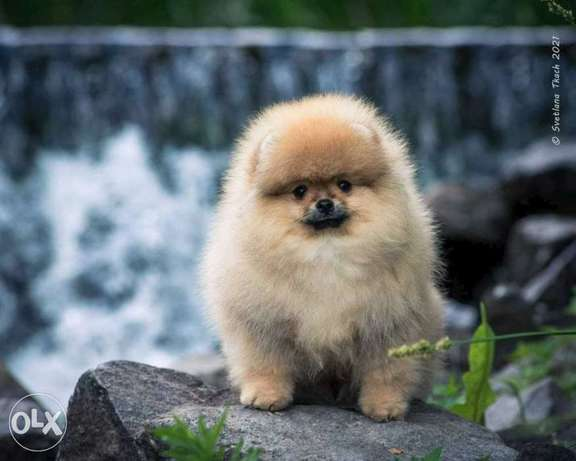 one of The Best Mini Pomeranian Puppy In Europe With Full Documents
