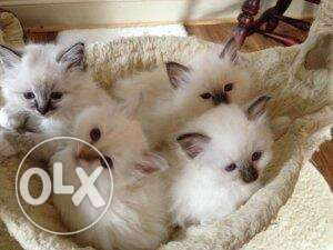 Birman Very affectionate kittens ready to go to new homes