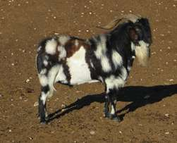 Quality Boer goats and sheep