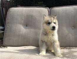 Kc Wolfdog Puppies for sale