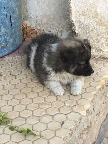 Japanese Spitz Puppies for sale at 10k Nairobi CBD - image 2