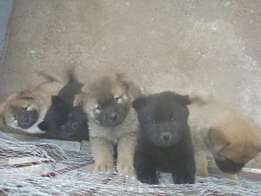 Chow chows for sale...in need of homes