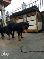Rot adult male and female available