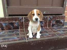 Jack Russel and Beagle cross puppies for sale