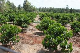 325 acres for sale in Ruiru,7km from Thika Highway at 10M per acre.