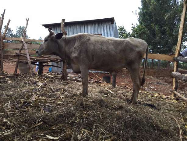 Cow for sale Kambirwa - image 2